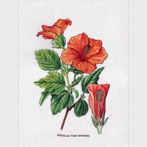 """Peinture """"Hibiscus rosa sinensis aqua"""""""
