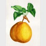 Nature morte d'une poire