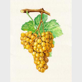 Une grappe de raisin
